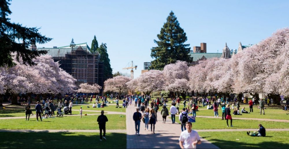 Κερασιές σε πλήρη άνθιση στο Πανεπιστήμιο της Ουάσιγκτον στο Σιάτλ. Credits: University of Washington