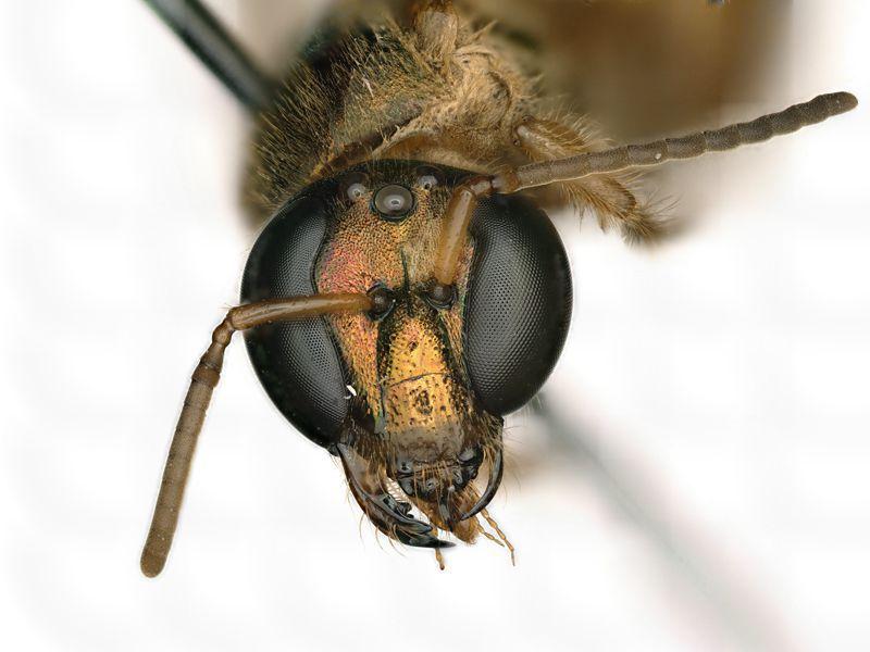 Το πρόσωπο μιας μέλισσας Megalopta amoena που είναι μισό θηλυκό (αριστερά του θεατή, δεξιά της μέλισσας) και μισό αρσενικό (δεξιά του θεατή, αριστερά της μέλισσας).