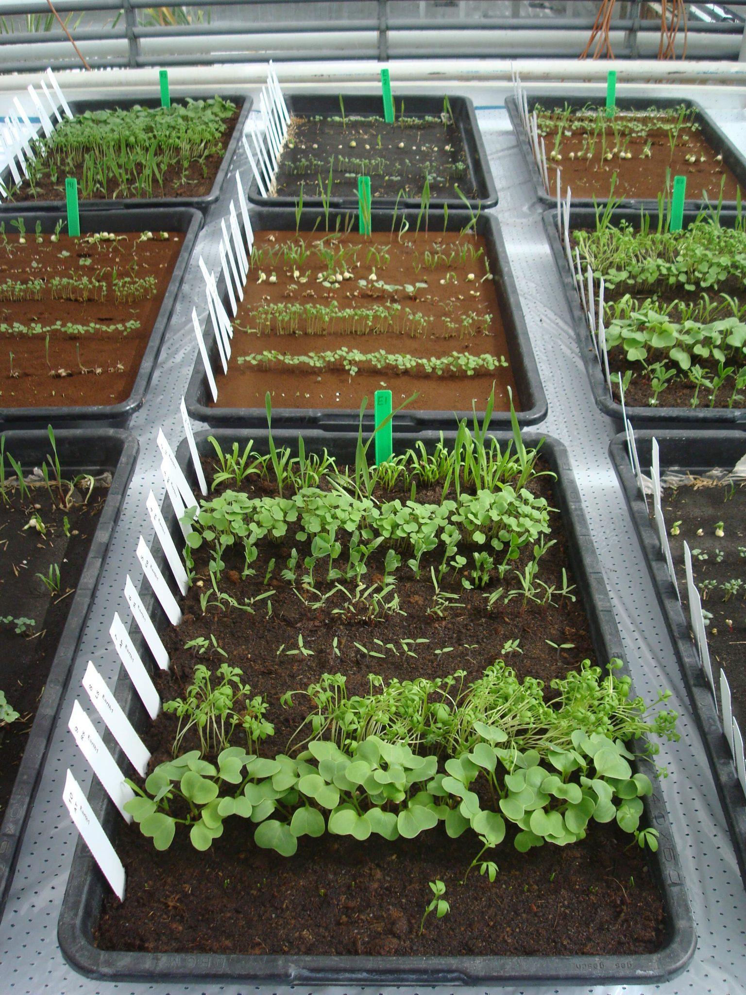 Δίσκοι με καλλιέργειες σε προσομοίωση αρειανού χώματος