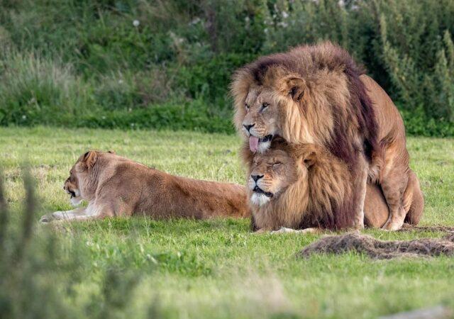 Ομοφυλοφιλική συμπεριφορά στο ζωικό βασίλειο