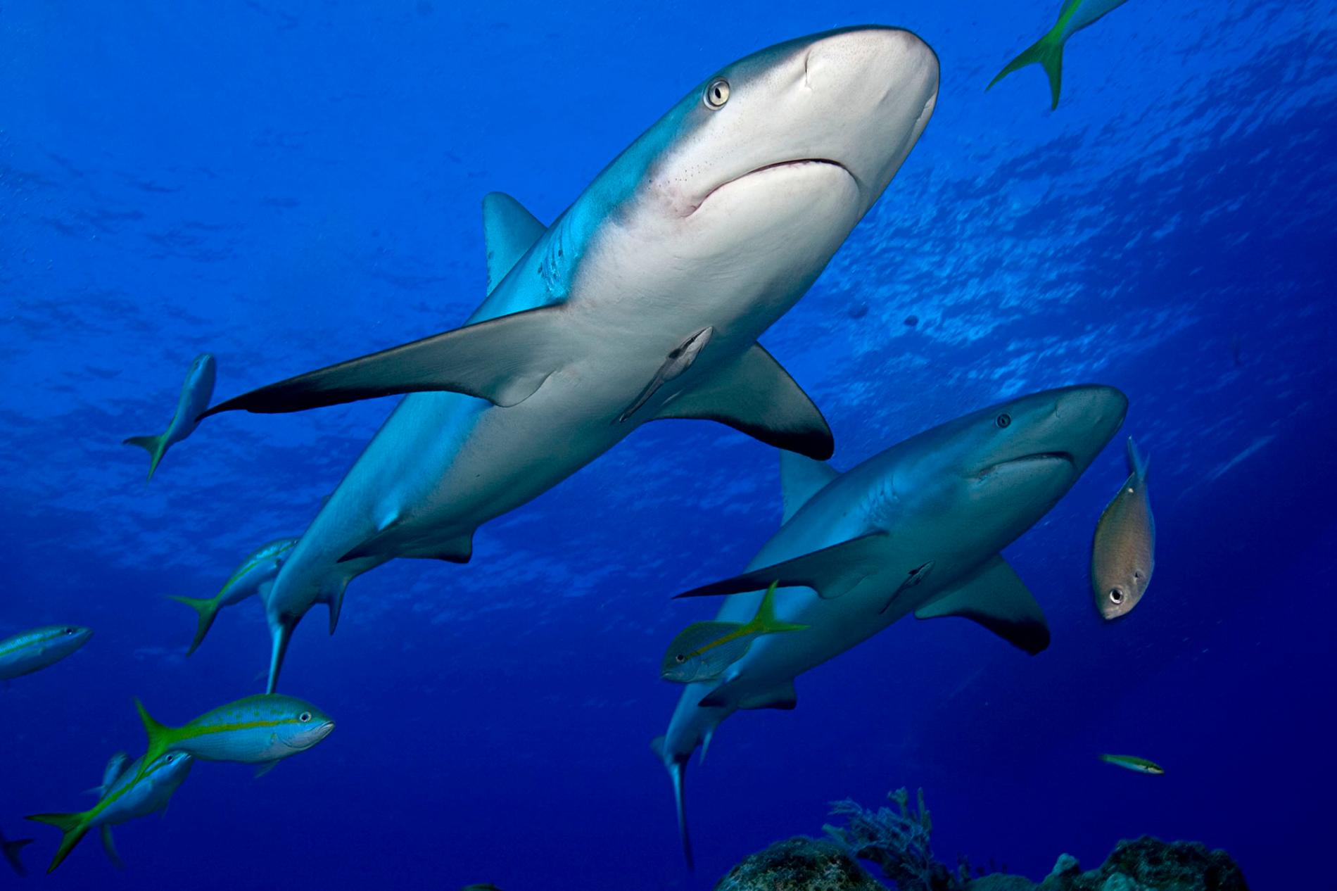 Καρχαρίες υπό απειλή για το εμβόλιο του κορονοϊού