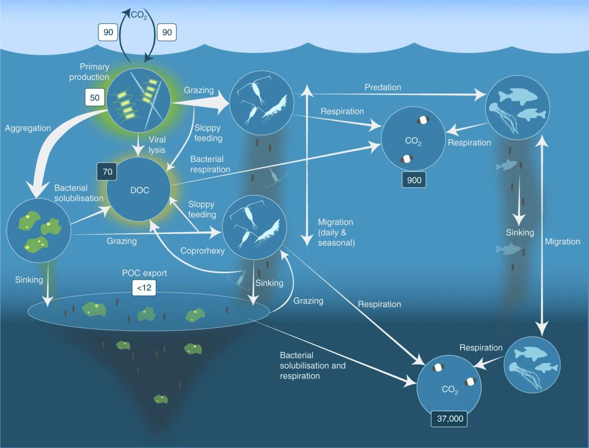Μέδουσες και μεταφορά άνθρακα: νέα έρευνα