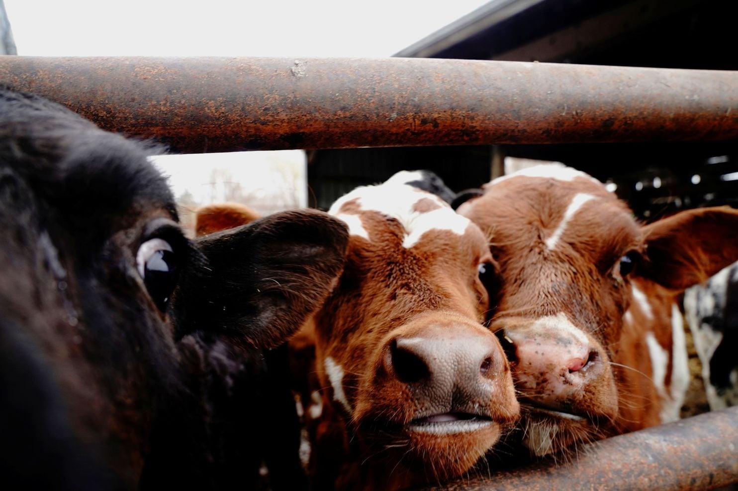 Οι αγελάδες τρώγοντας το θαλάσσιο φυτό μειώνουν την εκπομπή μεθανίου από την στοματική του κοιλότητα.