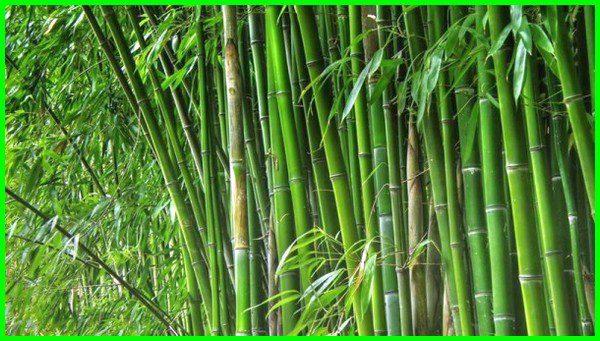 οι κάλτσες μπαμπού δημιουργούνται από το φυτό μπαμπού, σε φυσικά περιβάλλοντα