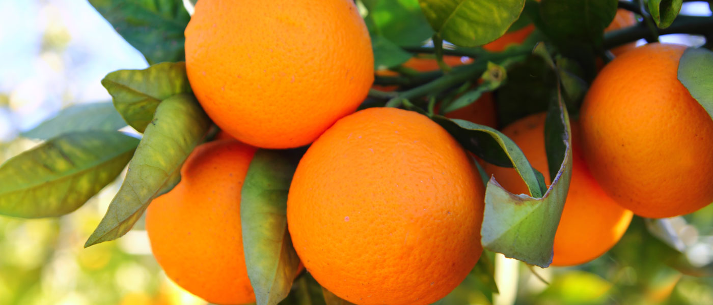Εικόνα εισαγωγής πορτοκάλι σε δέντρο