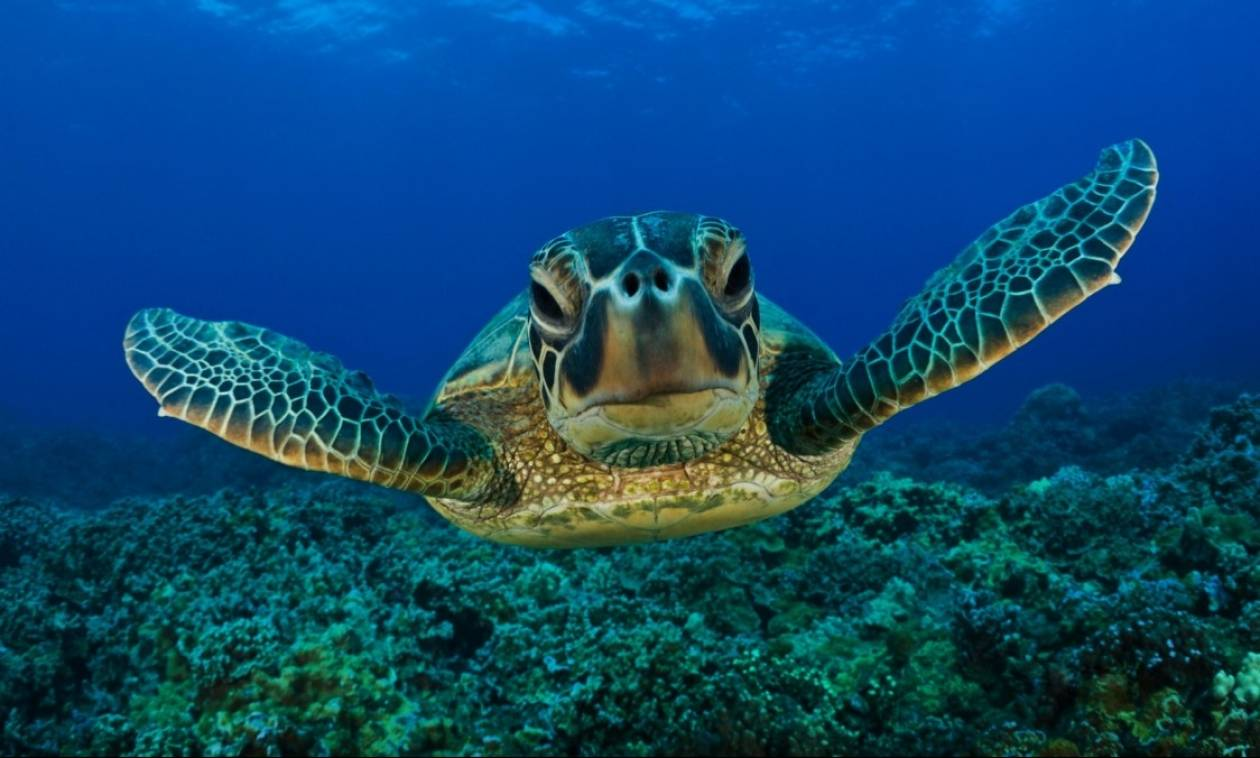 Χελώνα καρέτα καρέτα