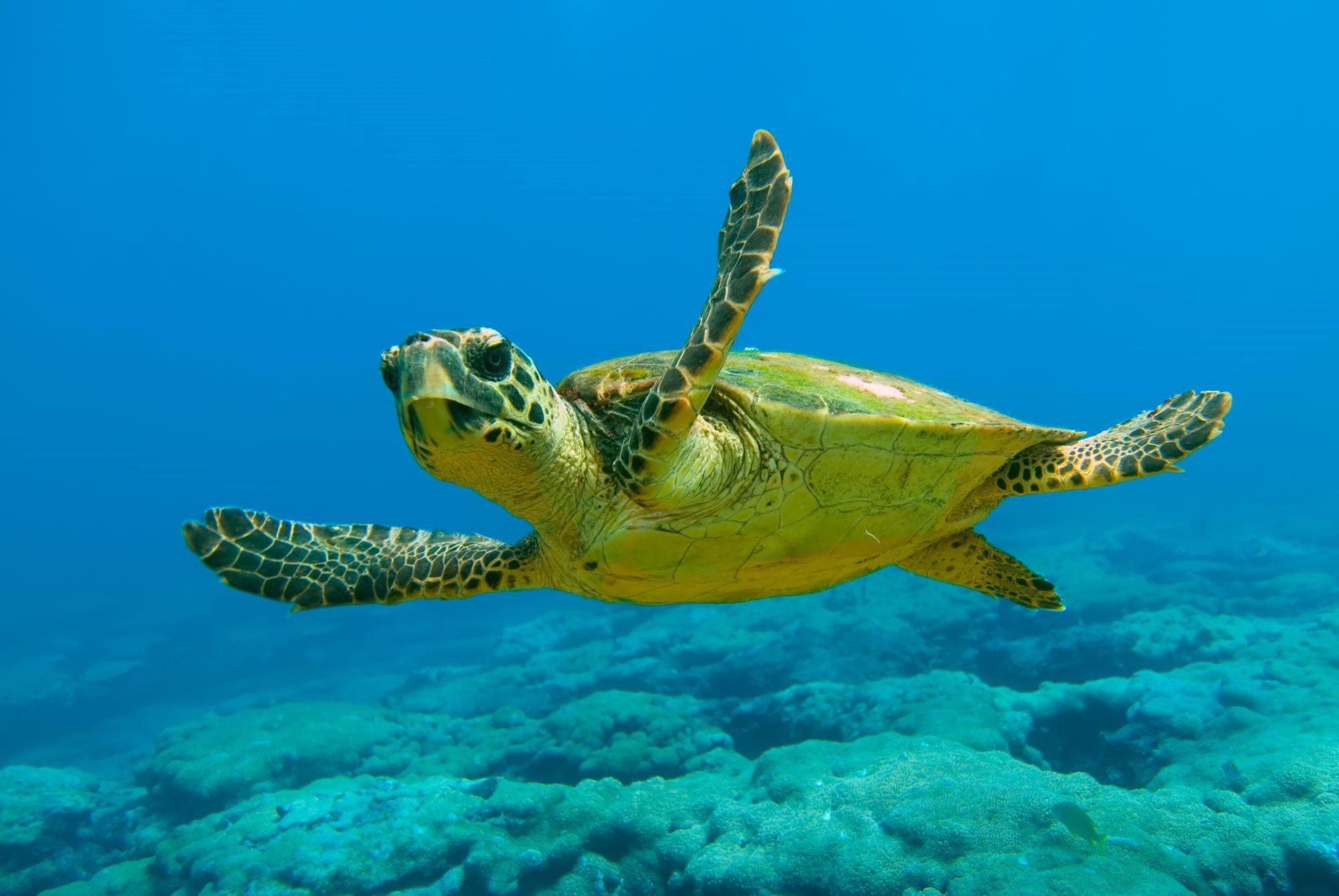 Καρέτα καρέτα χελώνα