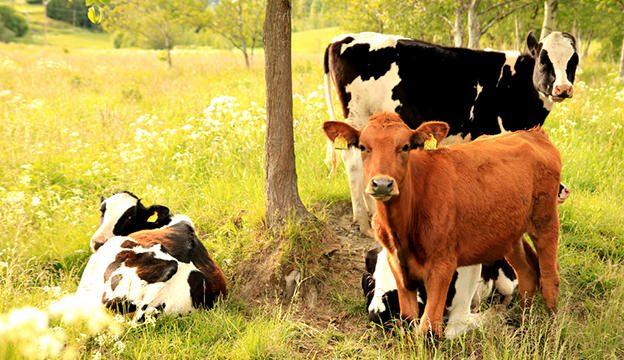 αγελάδες στη φύση