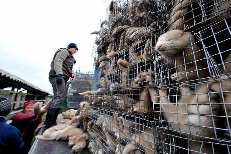 συνθήκες κράτησης των ζώων στη βιομηχανία γούνας