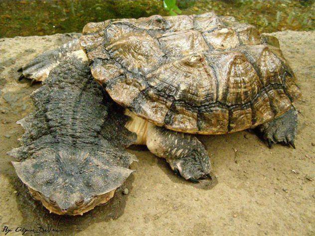 Ζώα Χελώνα matamata