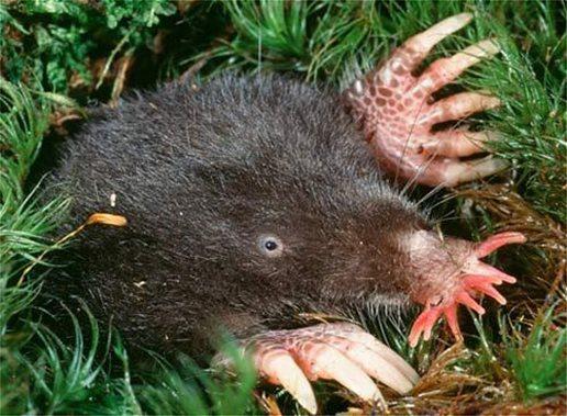 Ζώα Star-nosed mole