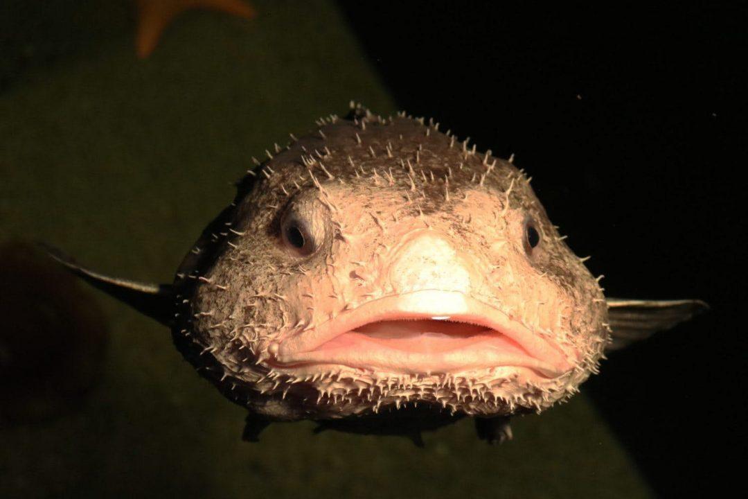 blobfish, ένα από τα πιο παράξενα ζώα