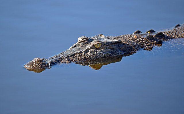 κροκόδειλος στην επιφάνεια νερού