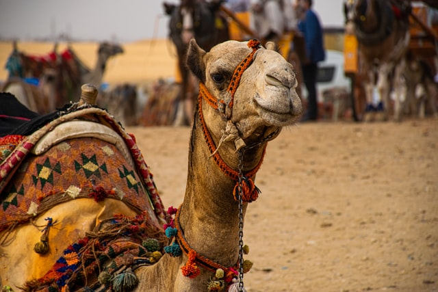 Οι καμήλες ανήκουν στα οπληφόρα θηλαστικά της Αφρικής και της Ασίας. Η ύπαρξή τους στη ζωή των ντόπιων συνέβαλε στην ανάπτυξη του πολιτισμού