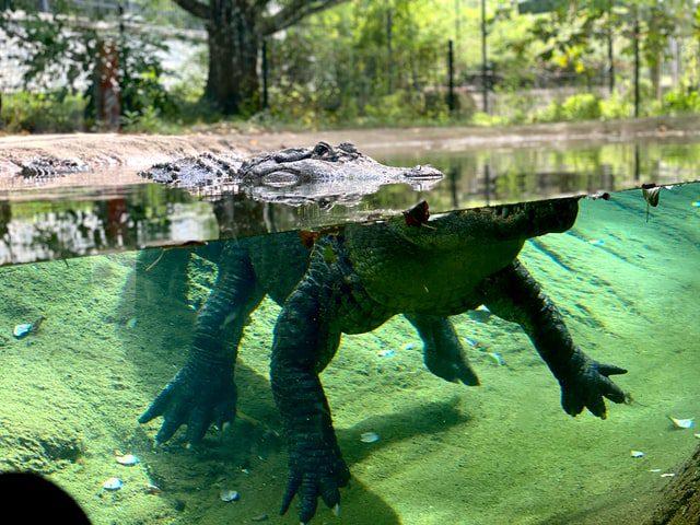 κροκόδειλος ο μισός κάτω από το νερό