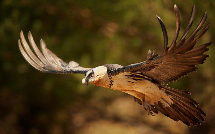 γυπαετός που πετάει