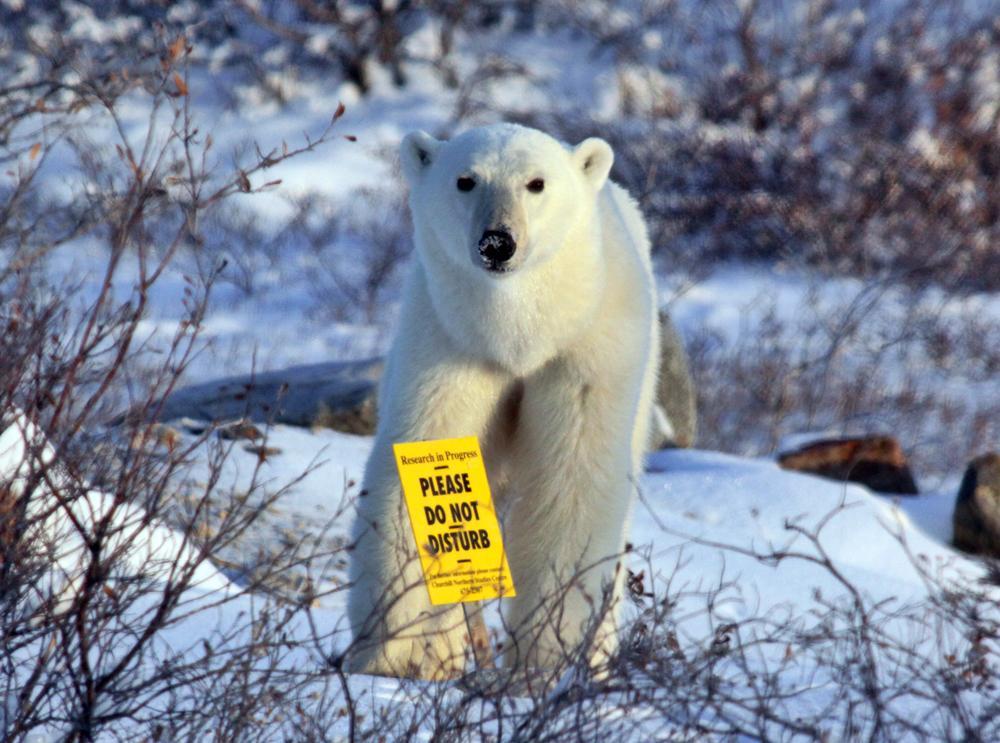 εξαφάνιση της πολικής αρκούδας