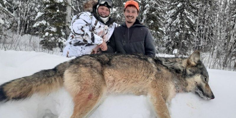 κυνήγι λύκων