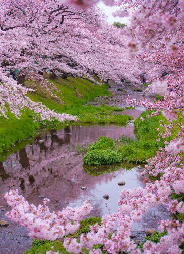 ανθισμένες κερασιές