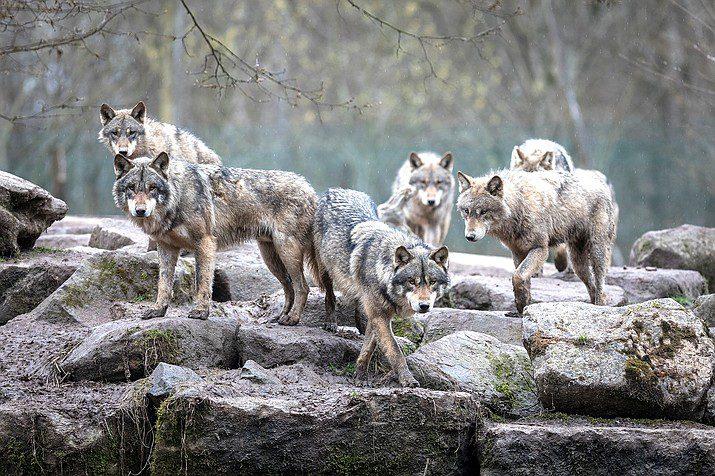αγέλη λύκων