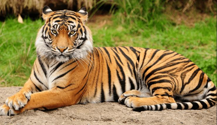 επιβλητική τίγρης