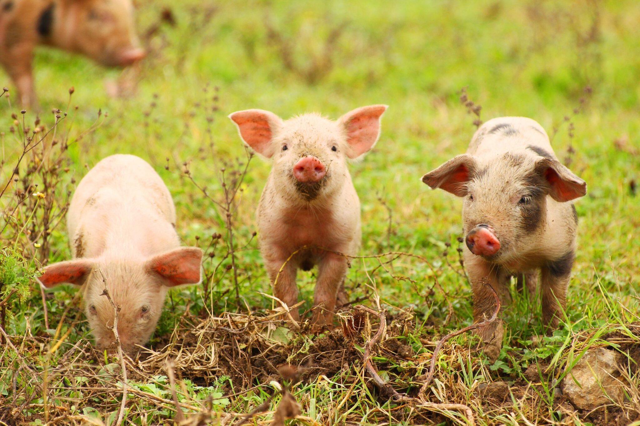γουρούνια στη φύση