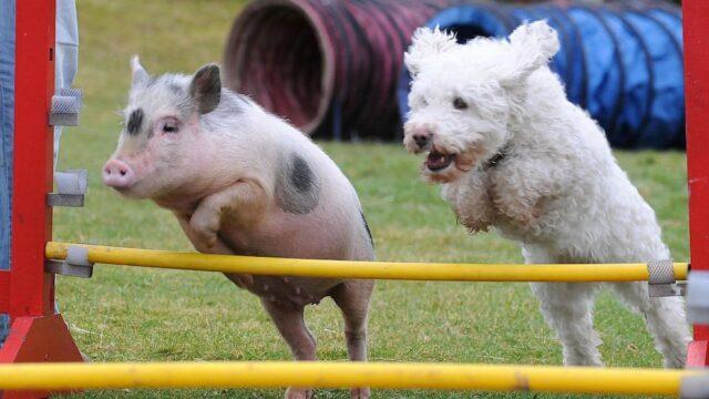 τα γουρούνια είναι πιο έξυπνα από τους σκύλους.