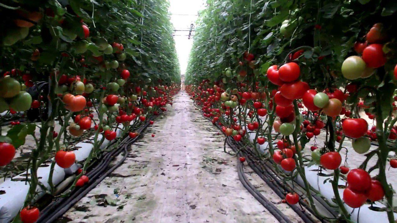 Υδροποινική καλλιέργεια ντομάτας